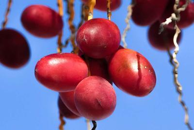 牛皮癣患者能吃大枣么 大红枣生吃对牛皮癣有何作用